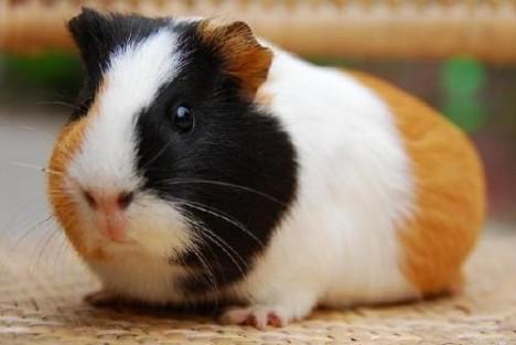 长得像老鼠的兔子