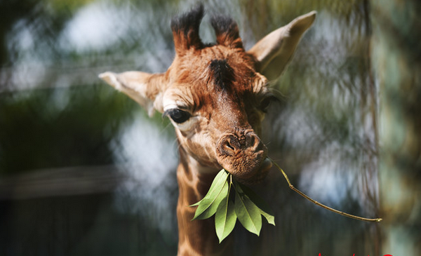 """红山动物园长颈鹿夫妇又生""""三阿哥""""啦"""