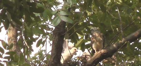 附近一位市民告诉记者,今年5月中旬,这两只赤腹鹰飞至榆树枝杈上,开始