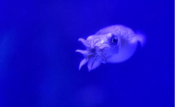 南京海底世界人工养殖45只乌贼齐亮相