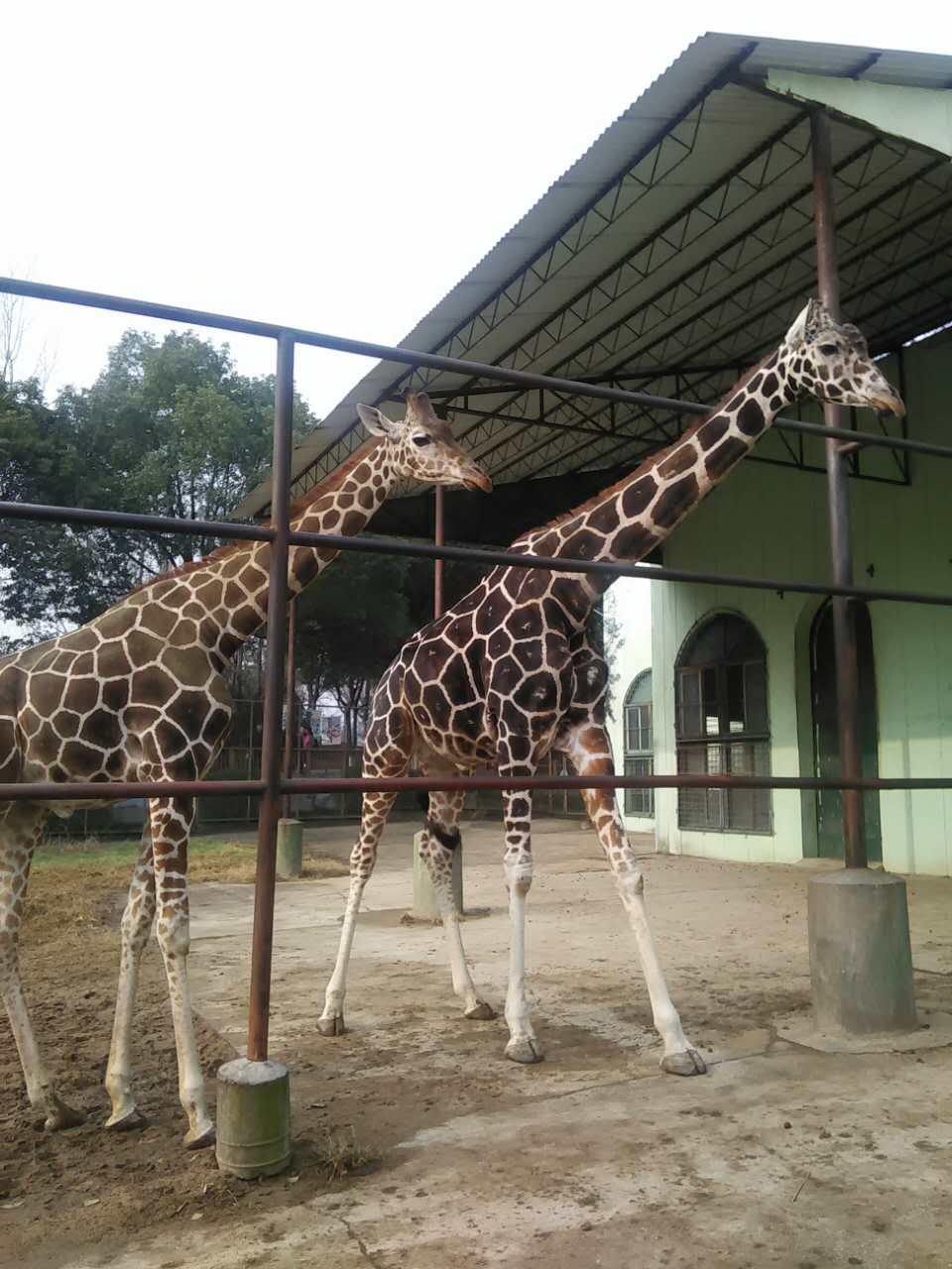 红山动物园长颈鹿圣诞过生日啦